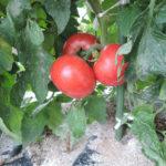 家庭菜園成長記録